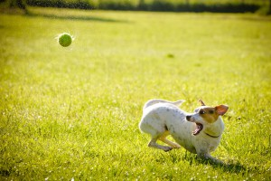 Ball_Jack Russell